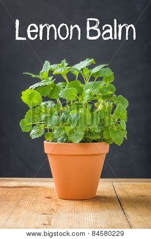 Lemon Balm In A Clay Pot On A Dark Background