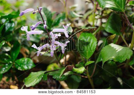 Closeup Of Purple Mona Lavender Flowers