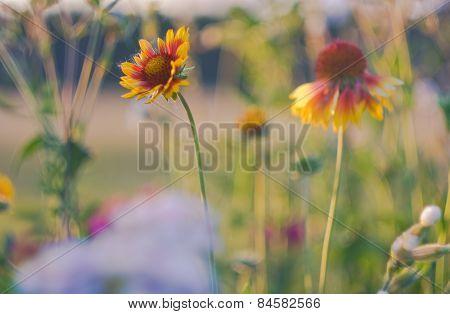 Echinacea - Cone Flowers