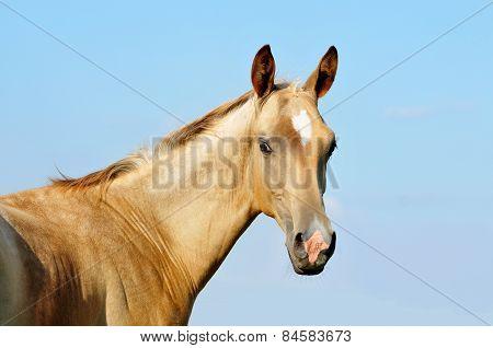 The Portrait Of Cute Little Akhal-teke Foal