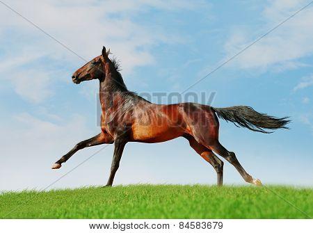 Akhal-teke Free Horse