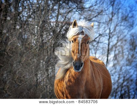 Palomino Horse With Long Mane Portrait