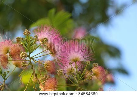 Persian silk tree.