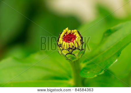 Red yellow flower bud.
