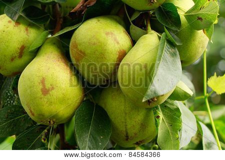 Many pear with branch details.