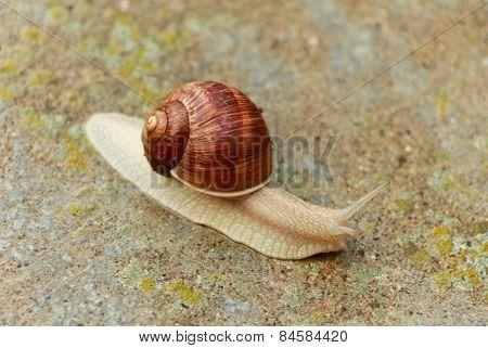 Garden snail.
