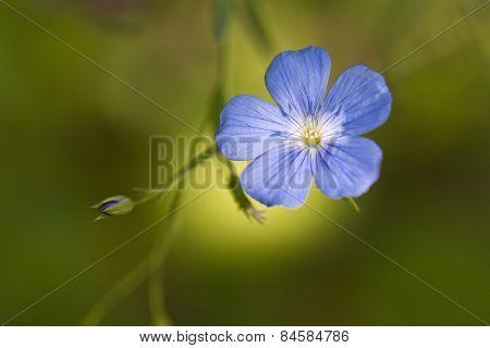 Flax Linum usitatissimum