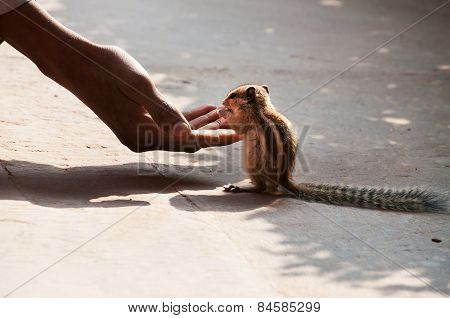 Indian Palm Squirrel Eating Grain With Hand