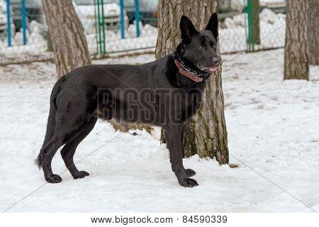 Black German Shepherd in snow.