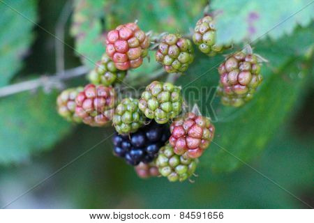 Raw and ripe berries on branch.