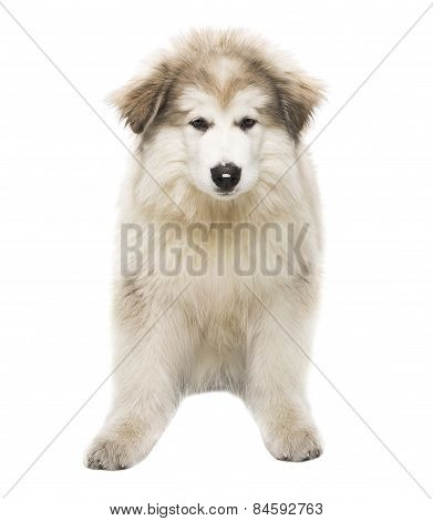 White Dog Husky Puppy, Whelp Isolated Over White Background, Looking At Camera