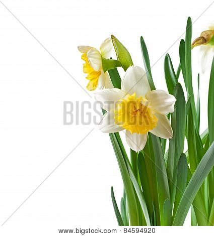 Spring flowers narcissus isolated on white background.