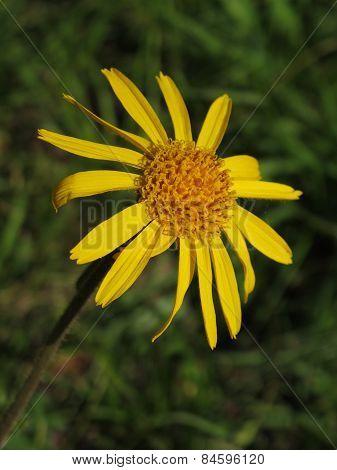 Arnica Montana, Rare Wildflower