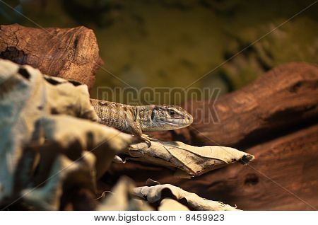 Single Lizard Emerging From Hiding In The Dry Leaves