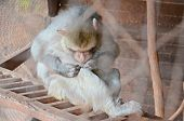 pic of flea  - monkey sitting on a ladder in captivity and looking for fleas - JPG