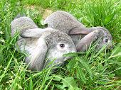 pic of hare  - Two hares in green grass in spring - JPG