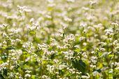 picture of buckwheat  - Beautiful close up of summer buckwheat flowers - JPG