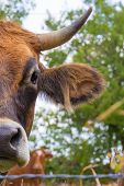 stock photo of bull head  - Close up of the head of a French bull - JPG