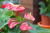 picture of arum  - Beautiful red flower anthurium with nature background - JPG