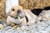 pic of wild-rabbit  - Cute holland lop rabbit eating fresh vegetable - JPG