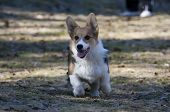 picture of corgi  - a happy corgi puppy running at full speed - JPG