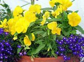 stock photo of lobelia  - yellow pansies  - JPG