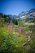image of weed  - Fire weed flowers up in the Wasatch mountains of Utah USA with the soaring peaks of Stom mountain and Twin peaks in the background