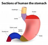 foto of oblique  - Sections of the human stomach - JPG