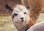 pic of alpaca  - Face of alpaca  - JPG