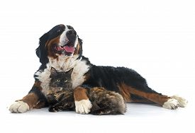 image of coon dog  - maine coon cat and bernese mountain dog in front of white background - JPG