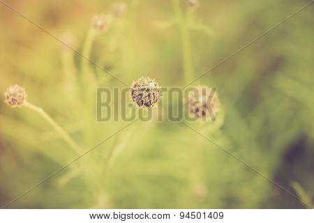 Vintage Photo Of Thistle Flowers