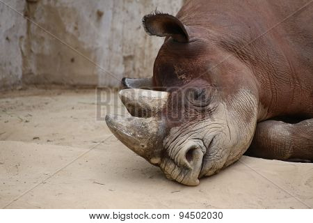 Detail Of Black Rhinoceros Lying On The Ground