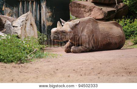 Black Rhinoceros Sitting On The Ground