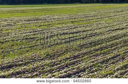 Close Up Of Young Cereal Sprouts On Field