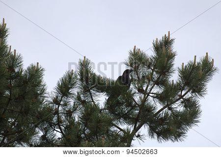 Raven On Conifer