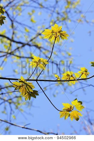 Upward View Of Yellow Maple Leaves In Autumn