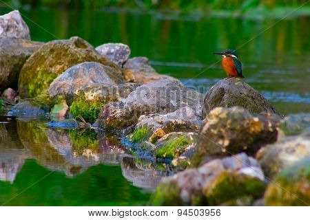 The bird extracts food in cane thickets on a reservoir