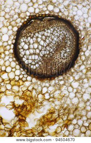 Male Fern (Dryopteris Filix-mas) Vascular Bundle
