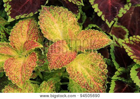 Gorgeous ground cover of lush Coleus leaves