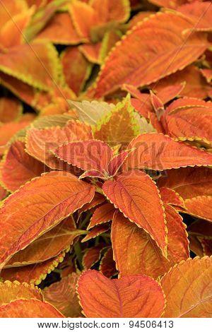 Beautiful Coleus plants