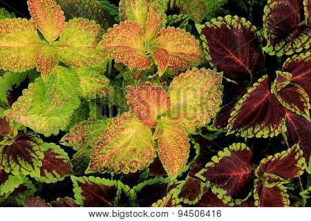 Variety of colorful Coleus leaves