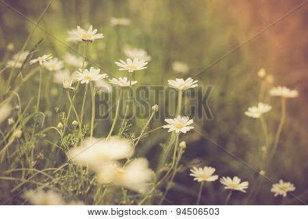 Vintage Photo Of Chamomile Flowers