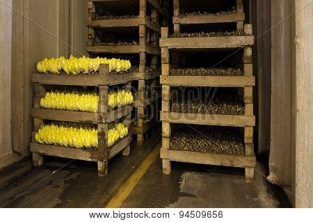 Chicory Farm