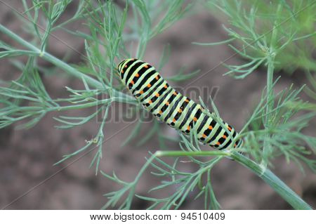 green caterpillar with yellow spots on the back Swallowtail caterpillar (Papilio machaon), Butterfli