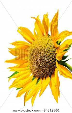 Sunflower On A White Background, Yellow Sunflower