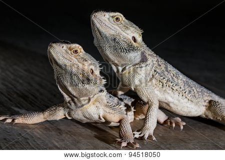 Agama Lizards On The Black Background