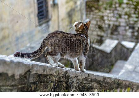 Grey Cat In Kotor City, Montenegro