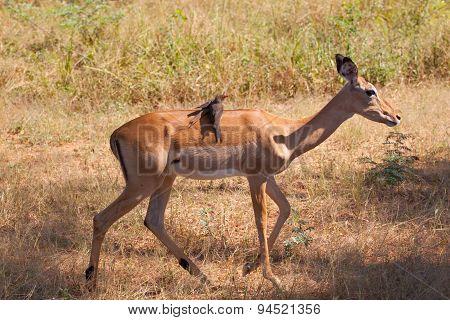 Birds on Impala
