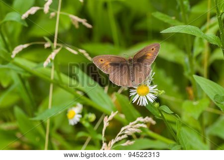 Male of meadow brown butterfly sitting on a camomile flower