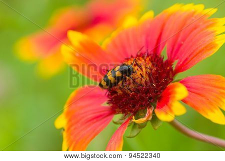 Beautiful Feral Indian blanket flower and stylish insect